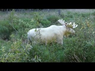 Житель Швеции снял на видео редкого белого лося