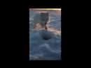 Песец рыбак мойва и фокус