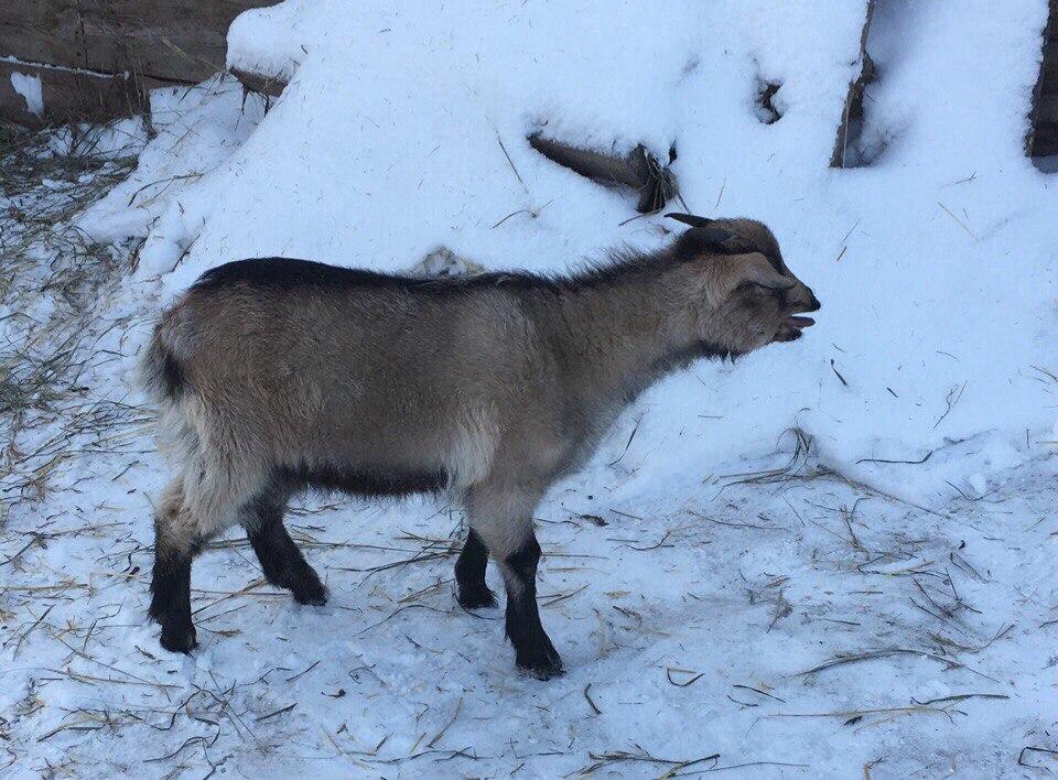 Продам козу  4-х месячную, от дойной козы и матёрого козла комментарии не отслеживаю!