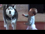 Husky Howls Along With Baby
