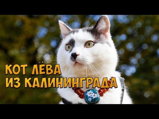 Кот Лёва из Калининграда