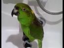 Поющий попугай Микеша