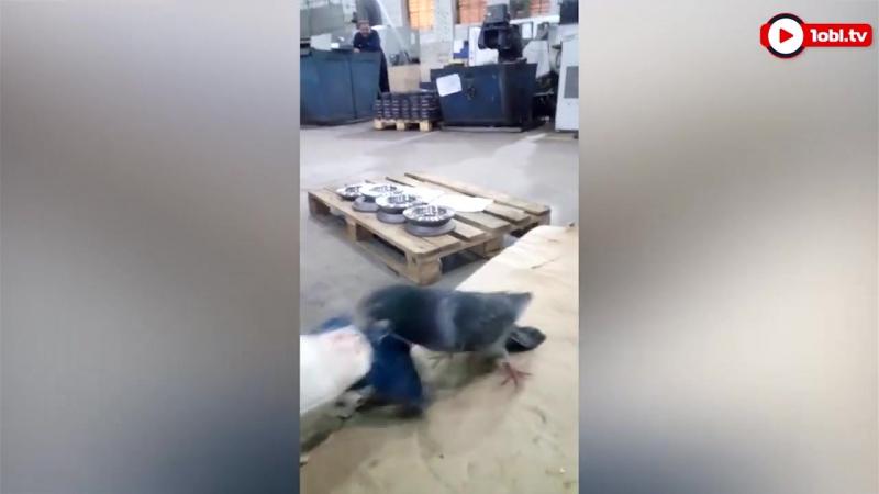 Голубь-драчун напал на челябинского заводчанина