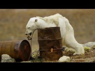 Истощенный белый медведь умирает от голода.