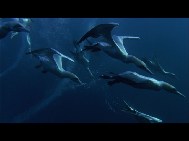 Predator Feasting Frenzy | Nature's Great Events | BBC