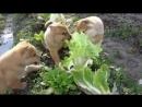Нападение бешеных кроликов на капусту
