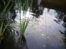 Растения для пруда Рогоз yklip scscscrp