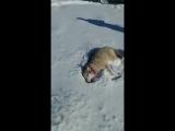 Как хитрый волк притворился мёртвым и укусил охотника!