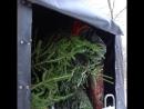 Как заготавливают новогодние ели