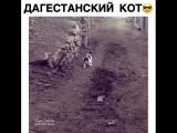 Дагестанский кот ?