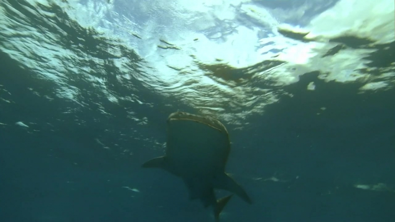 BBC. Китовая акула / Whale Shark / 2008