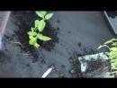 Выращивание Перца Секрет Урожайного Перца в Открытом Грунте 19 05 17
