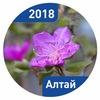 Цветущий маральник на Алтае в апреле и мае 2018
