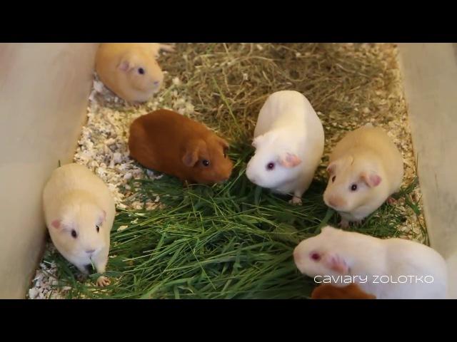 Ускоренное поедание травы морскими свинками. Питомник Золотко