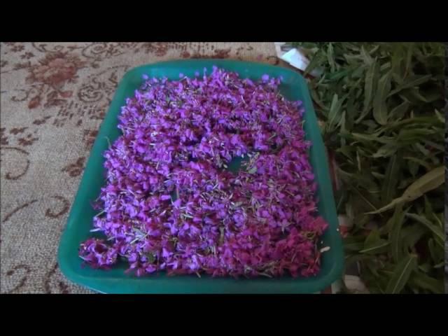 Иван-чай ,Весь процесс заготовки от А до Я в домашних условиях