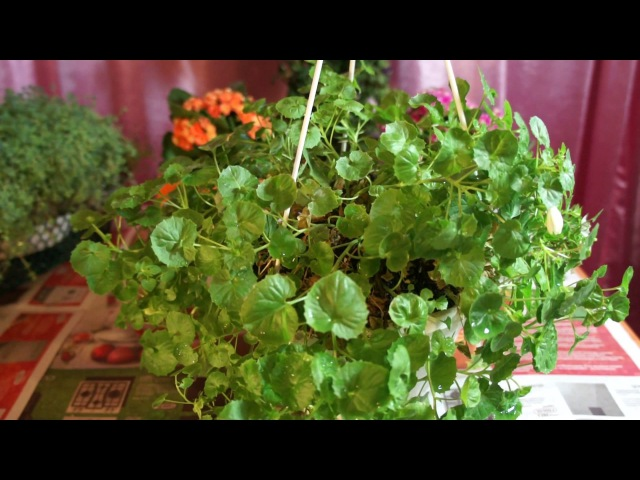 21.02.17. Невеста ( кампанула) снова зацвела) Мой опыт выращивания. Советы по уходу.