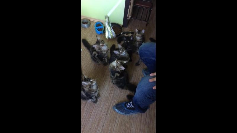 Котята BON CHATON