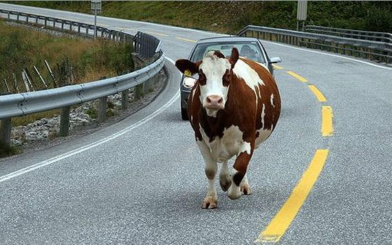 В Зеленчукском районе ВАЗ сбил корову