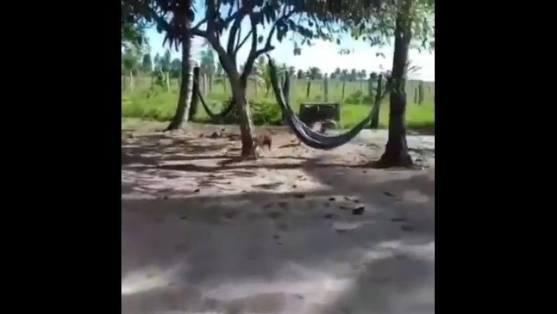Бой против собаки и курици