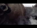 Стая волков против бизонов. Pack of wolves vs bisons.
