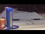 Заяц скачет на заправке в Рыбинске