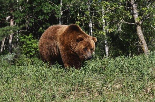 Самый главный персонаж русских сказок – медведь-батюшка. Он хозяин русского леса. В старину медведя называли – Бер. А как называется жилище медведя (Берлога) Берлога – это жилище Бера.