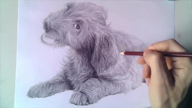 Как поэтапно шаг за шагом быстро и легко нарисовать реалистичного щенка кокер-спаниеля простым карандашом используя штриховку, т