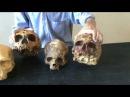 Эволюция человека. Отличия черепа неандертальца