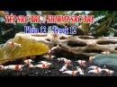 CUỘC SỐNG THIÊN NHIÊN -Tép Thủy Sinh Phần 12