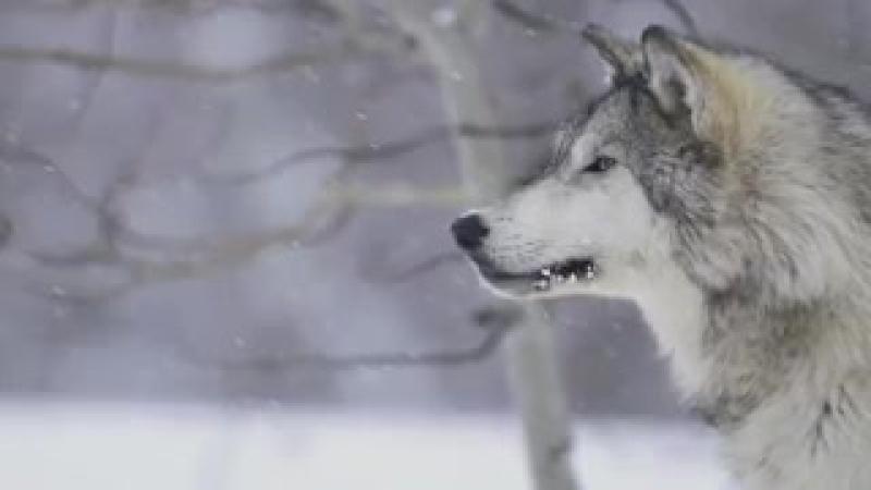 Блатной Удар Одинокий волк