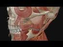 Лицевой нерв(7 пара ЧМН) 3D анимация