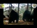 Впервые в мире семья из шести медведей встретила третью зиму вместе