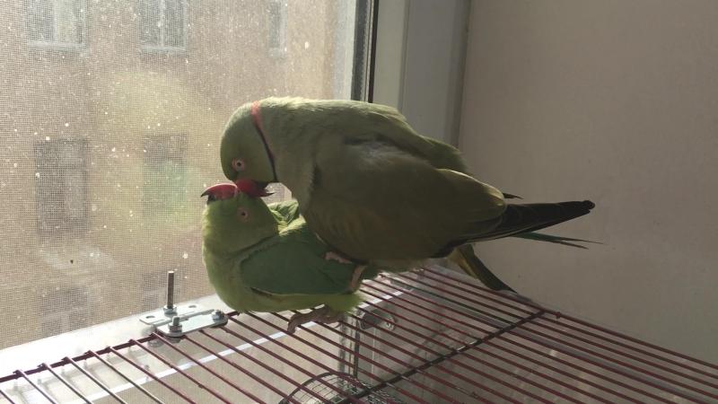 (16) Близкие контакты третьей степени (ожереловые попугаи)