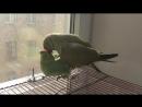 16 Близкие контакты третьей степени ожереловые попугаи