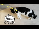 MEOW! The cat does not want to go for a walk
