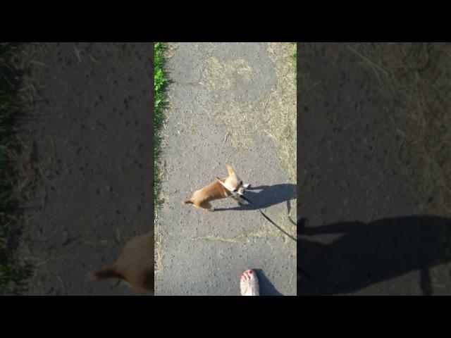 Прогулка с моим той терьером