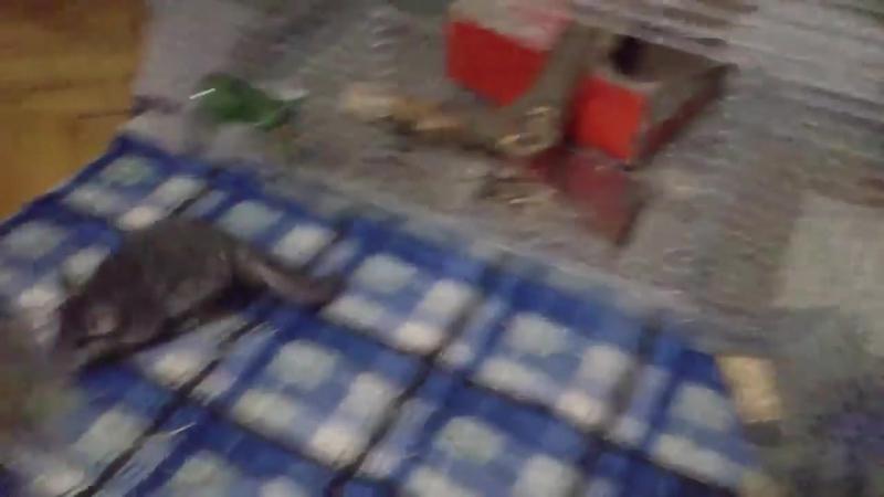Chinchilla funny videos. Chinchilla dust bath. Chinchilla barking