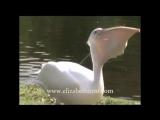 Pelikan Frisst Taube.mp4