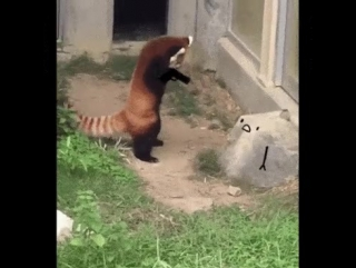 Красная панда и камень.