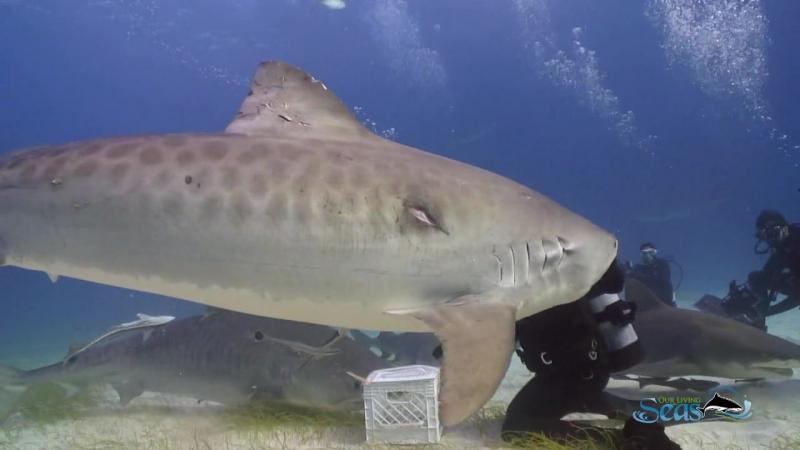 Балет тигровых-акул с Винсентом Канабалом