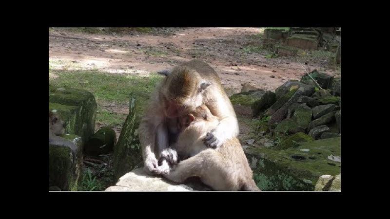 Baby monkey Sweet pea with mother monkey Sleeping  Poor baby monkey Animals Life part 102