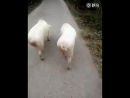 Две свинюшки на прогулки.
