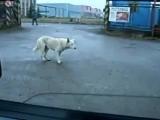 Собака танцует под музыку из машины Грибы - Тает Лёд