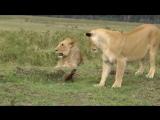 Мангуст гоняет львов