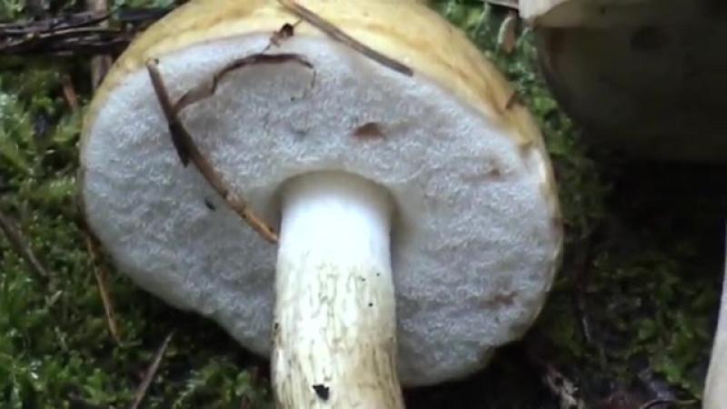 Горчак - несъедобный двойник Белого гриба...