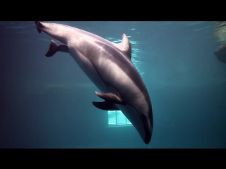 Meet Katrls Calf, the newest Pacific white-sided dolphin at Shedd