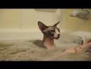 Как кошки любят купаться