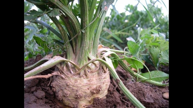 Во саду ли в огороде • Посев Сельдерея. Зачем Для Посева Ложка? Тонкости Посева.