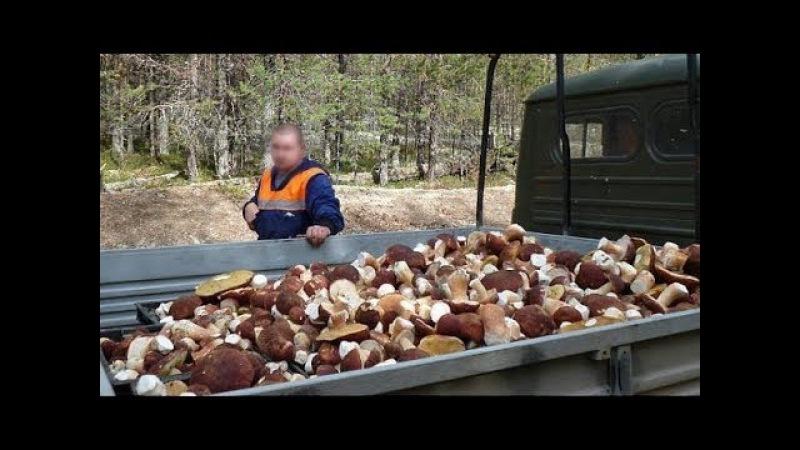 Как вырастить много белых грибов на своем участке (размножаем корнями)