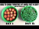 Выращивание ТОМАТОВ из ТОМАТОВ... Grow Tomatoes from Tomatoes (Easiest Method Ever With Updates)
